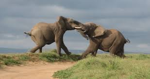 ELEPHANT ON ELEPHANT - (GOP)
